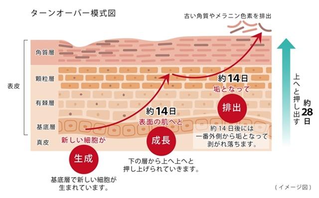 ターンオーバー模式図